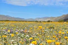 пустыня california borrego anza цветет солнцецветы положения парка одичалые Стоковые Изображения RF