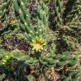пустыня fuerteventura Испания кактусов Стоковая Фотография