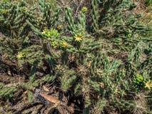 пустыня fuerteventura Испания кактусов Стоковые Изображения