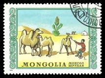 пустыня gobi верблюдов Стоковое Изображение RF