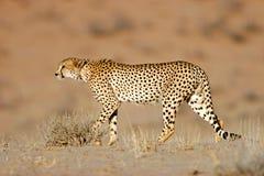пустыня kalahari гепарда Африки южный Стоковое Изображение