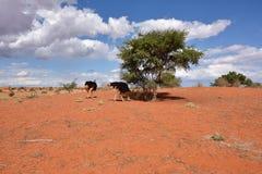 пустыня kalahari Намибия Стоковые Фото
