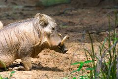 Пустыня Warthog играя на грязи Стоковая Фотография RF