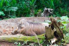 Пустыня Warthog играя на грязи Стоковое фото RF