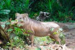 Пустыня Warthog играя на грязи Стоковые Изображения RF