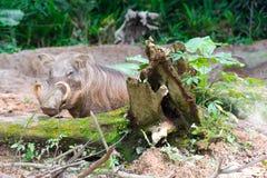 Пустыня Warthog играя на грязи Стоковые Изображения