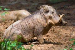 Пустыня Warthog играя на грязи Стоковое Изображение