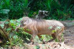 Пустыня Warthog играя на грязи Стоковая Фотография
