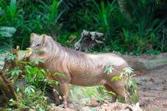 Пустыня Warthog играя на грязи Стоковые Фотографии RF