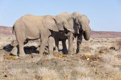 Пустын-приспособленные слоны, Намибия Стоковые Фотографии RF