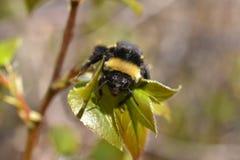 Путайте конец пчелы вверх Стоковое фото RF