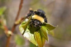Путайте конец пчелы вверх Стоковое Изображение RF