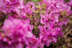 Путайте пчела на розовой азалии стоковое изображение