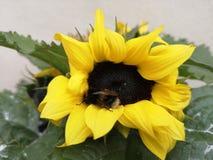 Путайте пчела на солнцецвете стоковое фото