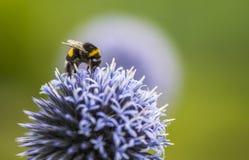 Путайте пчела на Echinops стоковые изображения