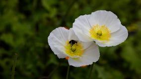 Путайте пчела принадлежит к семье пчел Нектар сбора шмелей от цветков стоковое изображение rf