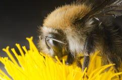 Путайте пчела Стоковое Изображение
