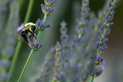 Путайте пчелы в лаванде стоковое изображение