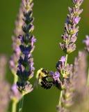 Путайте пчелы в лаванде стоковое фото