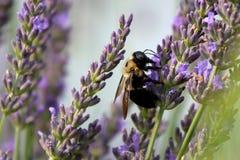 Путайте пчелы в лаванде стоковые фотографии rf