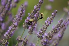 Путайте пчелы в лаванде стоковые изображения rf
