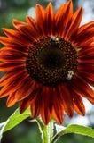 Путайте пчелы на ярком красном солнцецвете стоковое изображение
