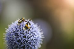 Путайте пчелы на Echinops стоковое фото rf