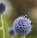 Путайте пчелы на Echinops стоковые фотографии rf