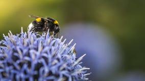 Путайте пчелы на Echinops стоковые фото