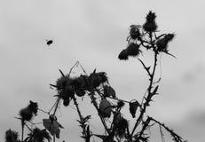Путайте пчела и Thistle Стоковое Изображение