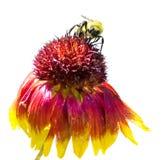 Путайте пчела на изолированной маргаритке Gloriosa Стоковые Изображения RF