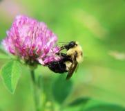 Путайте пчела на фиолетовом цветке стоковое фото rf