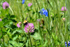 Путайте пчела на цветке клевера Стоковое Изображение