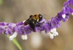 Путайте пчела на цветке Стоковая Фотография