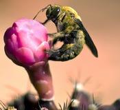 Путайте пчела на цветке Стоковые Фото