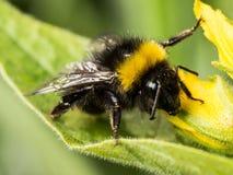 Путайте пчела стоковое фото rf