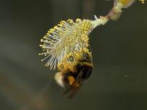 Путайте пчела, Sp Bombus Собирать нектар на цветке вербы Стоковое фото RF