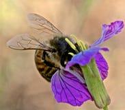 Путайте цветок опыления пчелы Стоковое Изображение RF
