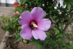 Путайте цветок пчелы опыляя гибискуса Стоковая Фотография
