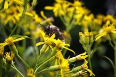 Путайте pascuorum Bombus пчелы на желтом цветке Стоковые Фотографии RF