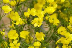 Путать желтых цветков Cinquefoil Стоковая Фотография