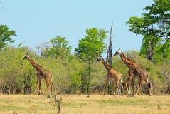 Путешествие жирафа идя на равнины с естественной предпосылкой bushveld в южном национальном парке luangwa, Замбии Стоковое Фото