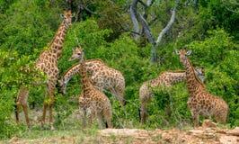 Путешествие жирафа имея завтрак в раннем утре стоковая фотография