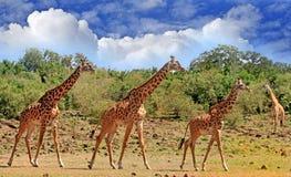 Путешествие жирафов на открытой равнине в южном Luangwa стоковое изображение rf