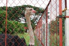Путешествие к Азии: Милый страус Стоковые Изображения