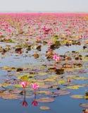Путешествие шлюпки в большом озере зацветая розовой лилии лотоса или воды, Th стоковая фотография rf