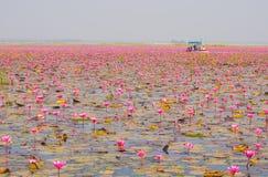 Путешествие шлюпки в большом озере зацветая розовой лилии лотоса или воды, Th стоковое изображение