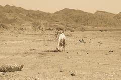 Путешествовать 2 верблюдов Стоковые Фото