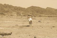 Путешествовать 2 верблюдов Стоковая Фотография