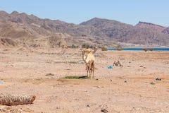 Путешествовать 2 верблюдов Стоковые Изображения